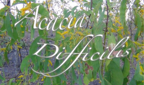 A taste of Acacia difficilis