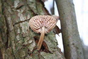 800px-Fungi-04_28xndr29